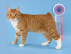 порода кота бобтейл