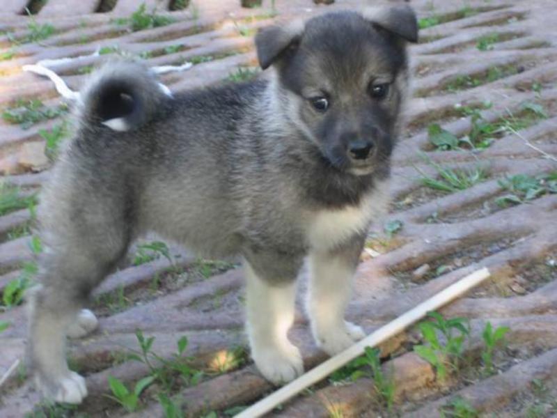 сибирская лайка фото щенки