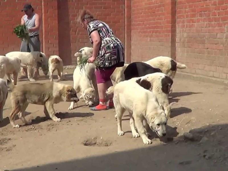 Туркменский волкодав: внешний вид, характер и воспитание, уход и содержание