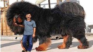 крупные породы собак фото мастиф