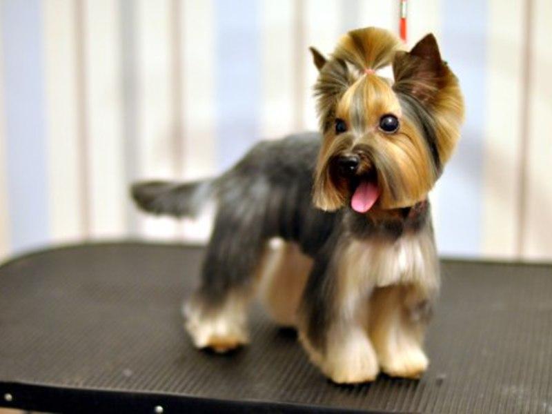 Стрижка для собак йорков фото