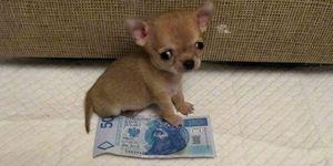 Самая маленькая собака в мире по имени Туди -  фото
