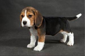 показать породу собак бигль