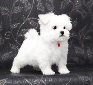 мальтезе размер взрослой собаки