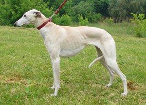породы борзых собак с фотографиями и названиями