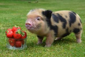 Свинки минипиг - какие они?
