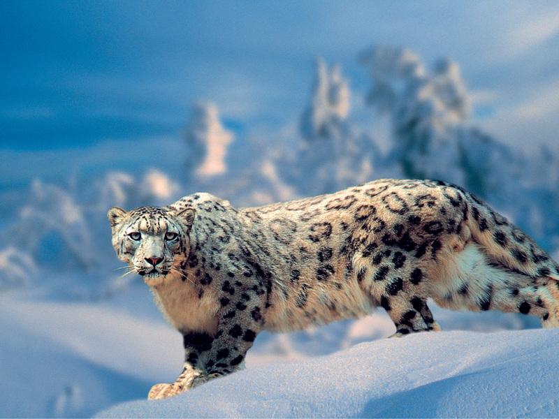 Снежный барс на снегу - зрелище великолепное