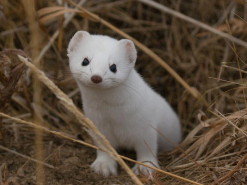 Белая куница или ласка: где обитает и как выглядит зверек ... подстилка