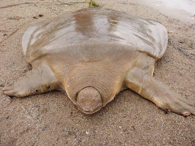 черепаха без панциря