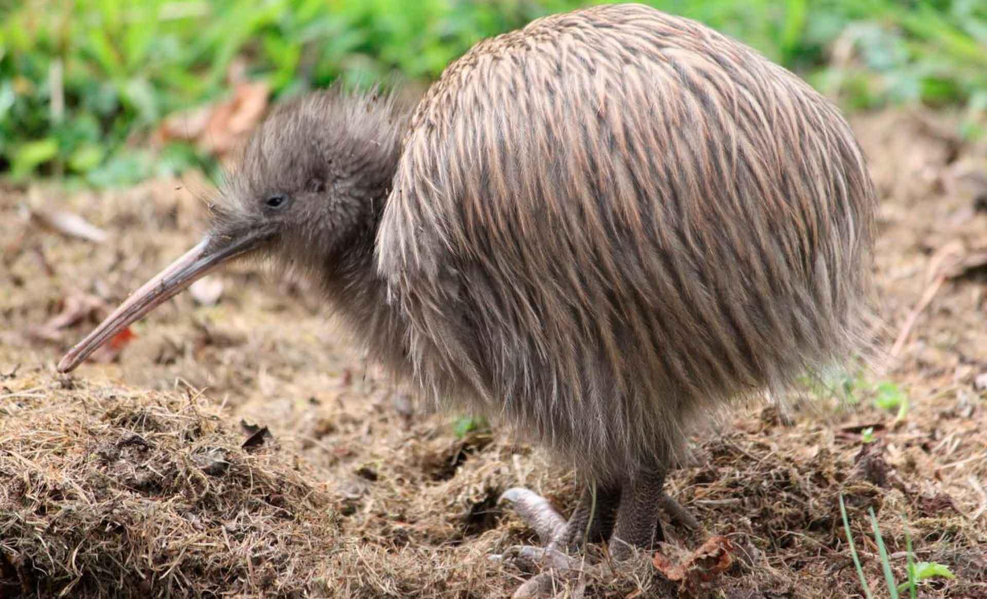 Киви: интересные факты о нелетающей птице