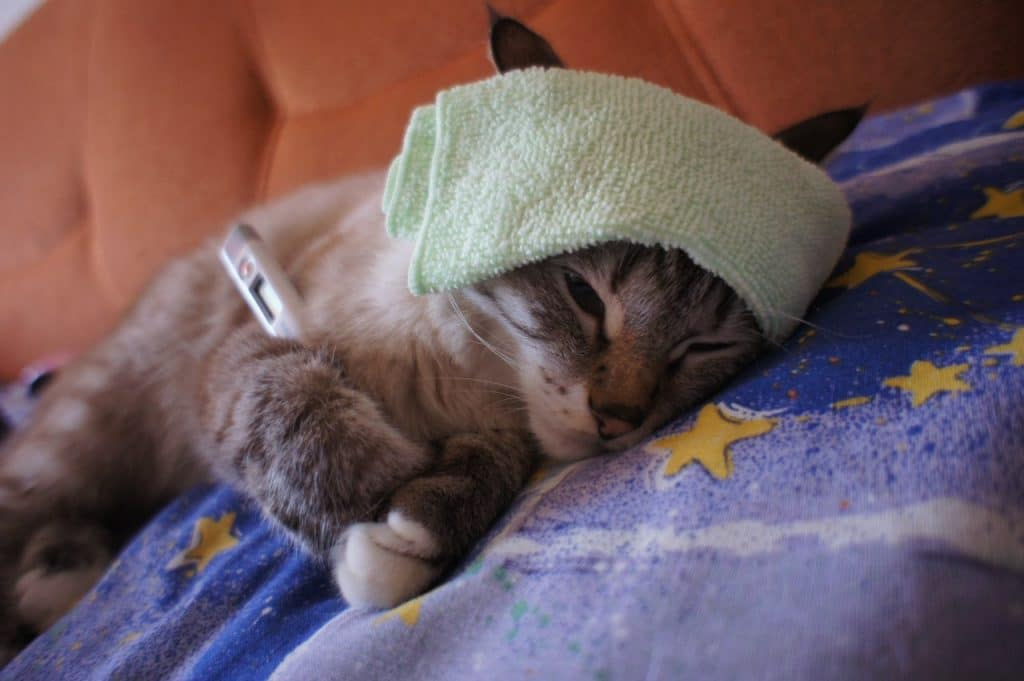 у кошки болит голова
