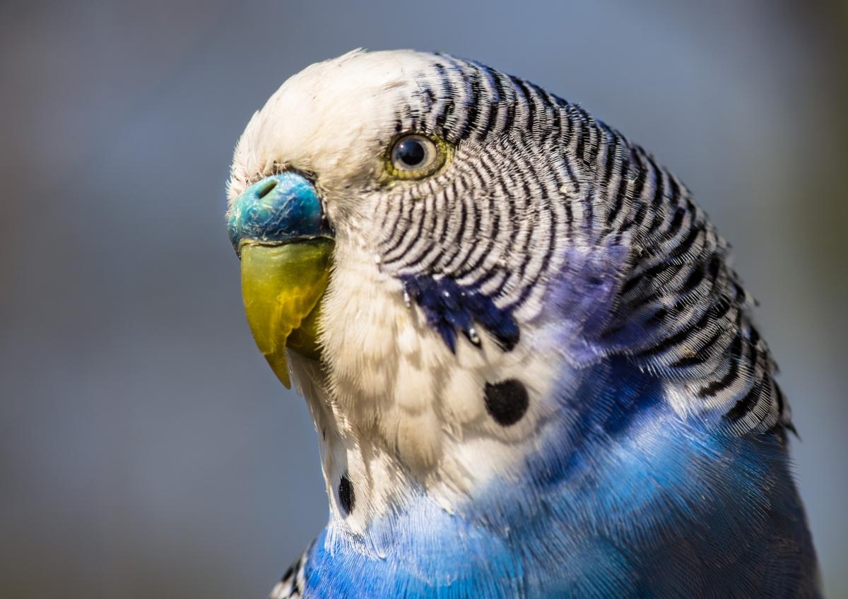 Чириканье волнистого попугая — о чём оно?