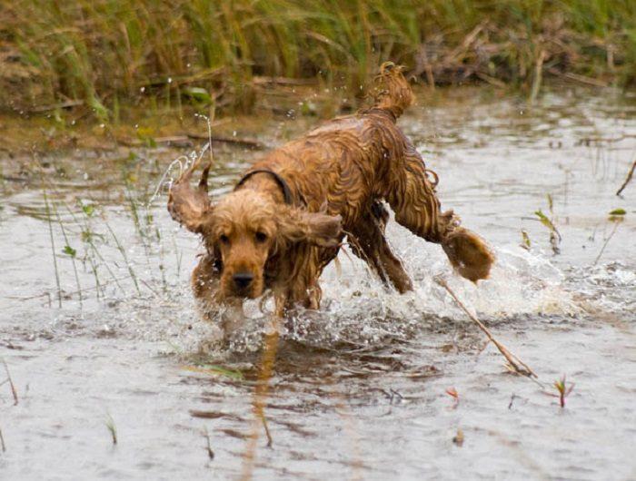 Английский кокер спаниель бежит по воде