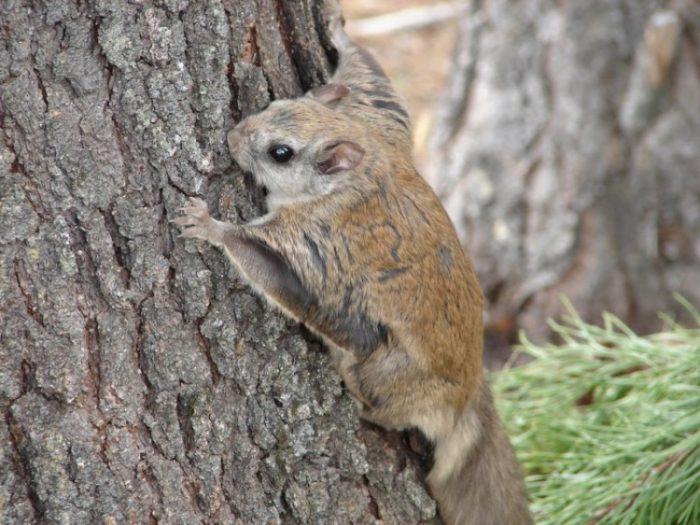 Белка-летяга карабкается по дереву