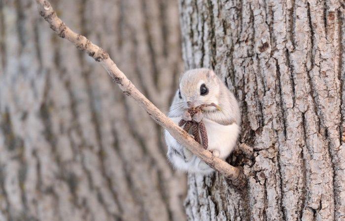 Белка-летяга ест берёзовые серёжки
