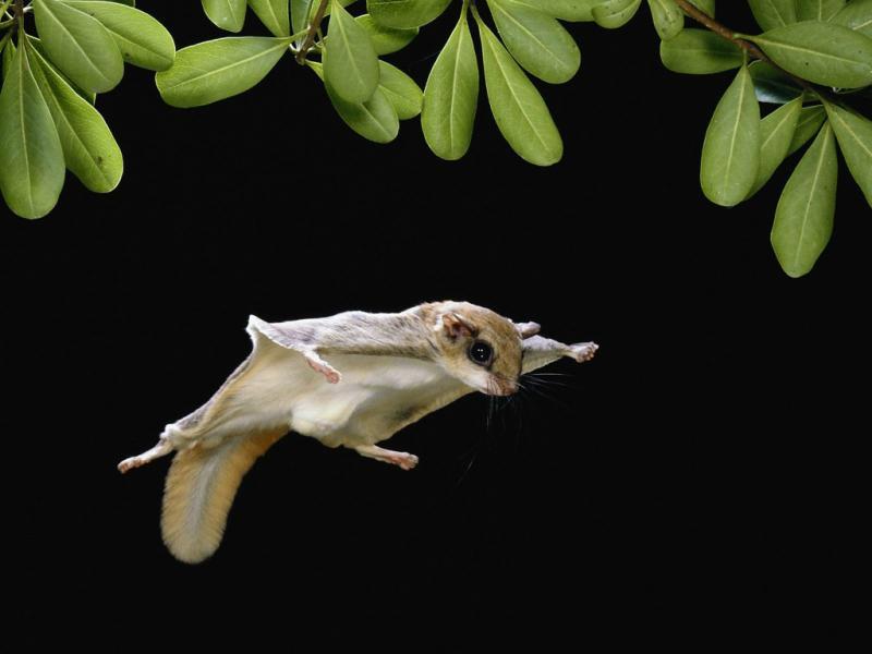 Белка-летяга: необычный летающий зверёк