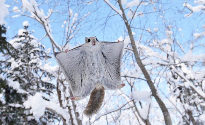 Белка-летяга зимой