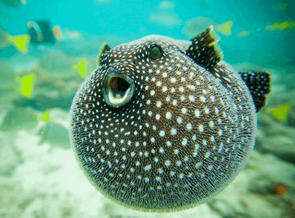 Рыба фугу в море