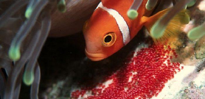 Икра рыбы-клоуна