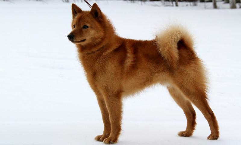 Карело-финская лайка: идеальный помощник на охоте