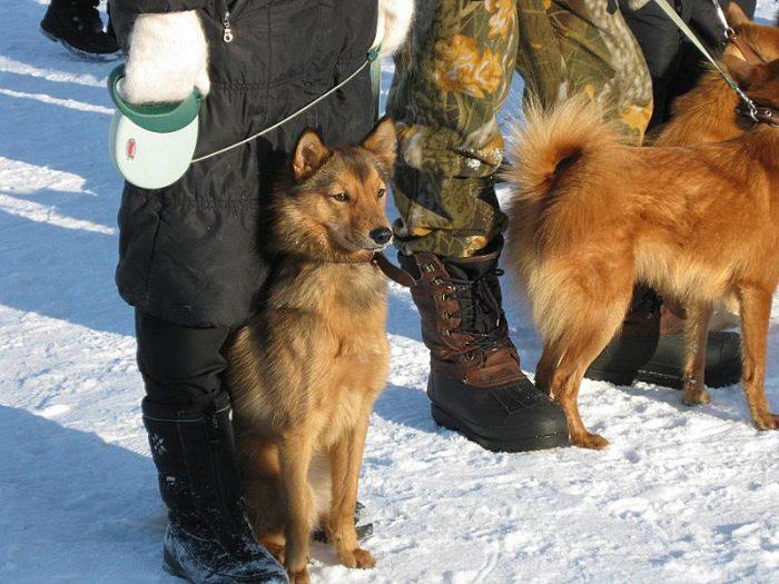 Карело-финская лайка на охоте
