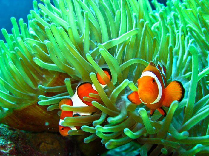 Рыбы-клоуны в актинии