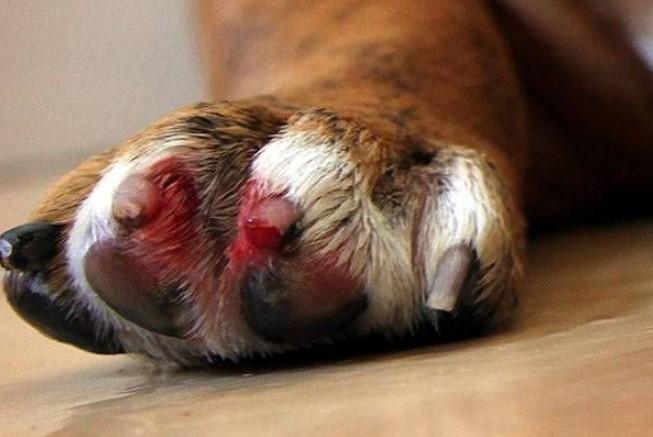 Раны при обрезке когтей