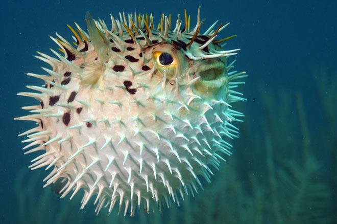 Рыба фугу защищается