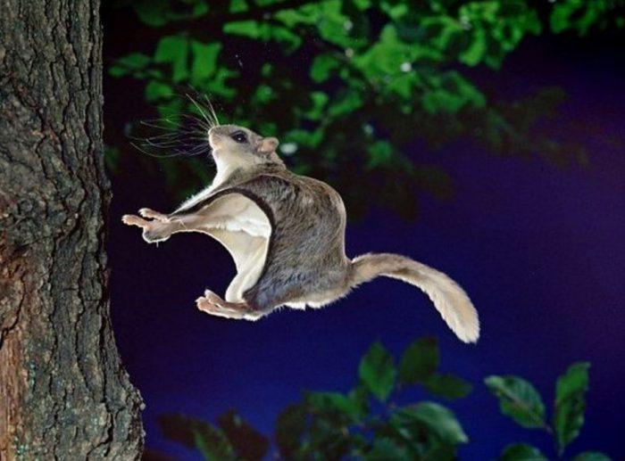 Японская белка-летяга