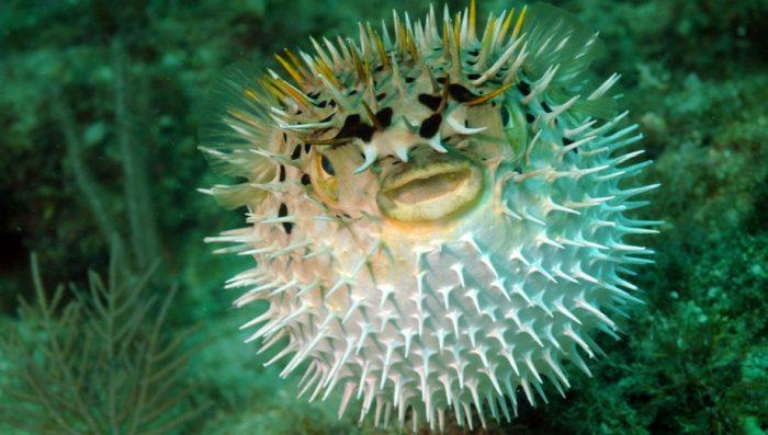 Жизнь рыбы фугу
