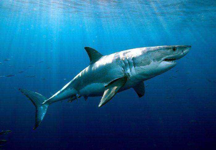 Белая акула в толще воды