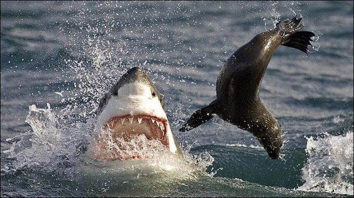 Белая акула охотится на морского котика