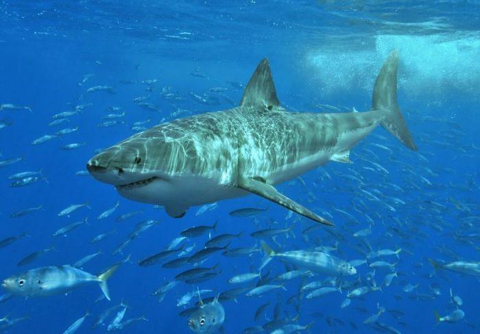 Белая акула в косяке рыб