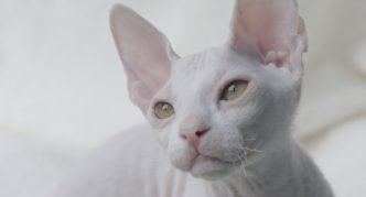 Белый донской сфинкс
