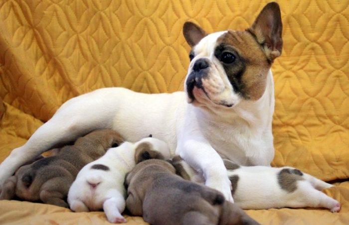 Французский бульдог кормит щенков