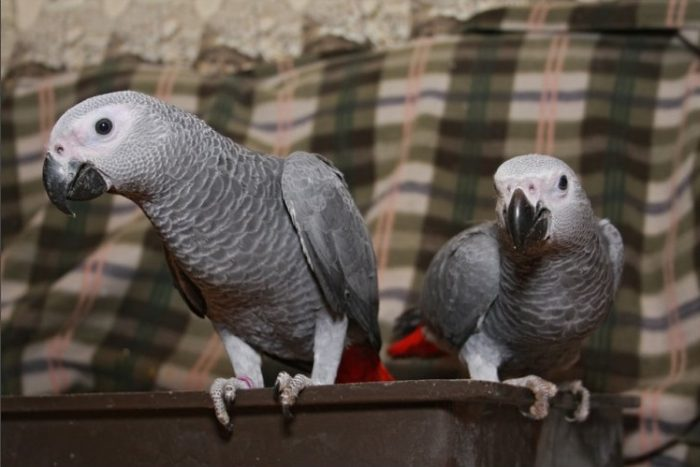 Как назвать попугая жако