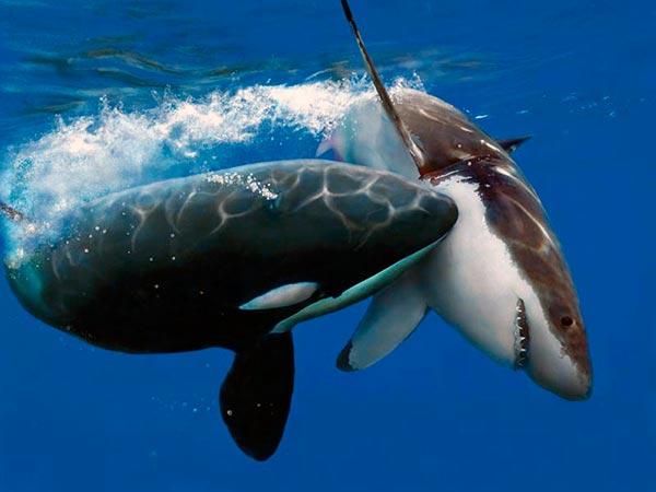 Нападение косатки на белую акулу