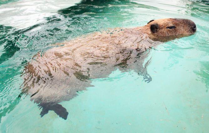 Плавающая в бассейне капибара