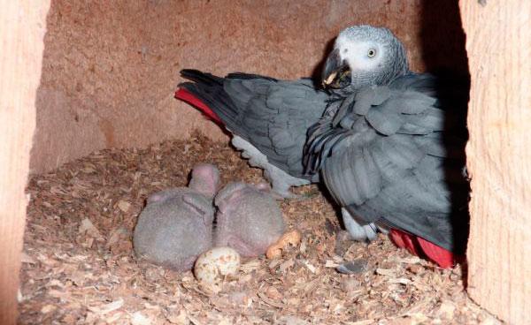 Самка жако с птенцами