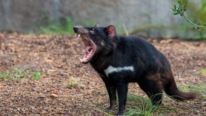 Пасть тасманского дьявола