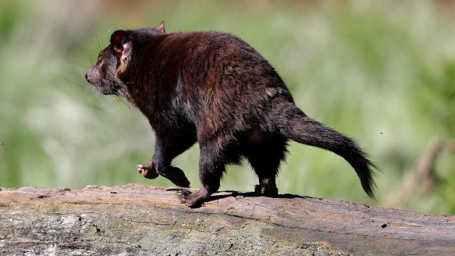 Как выглядит тасманский дьявол