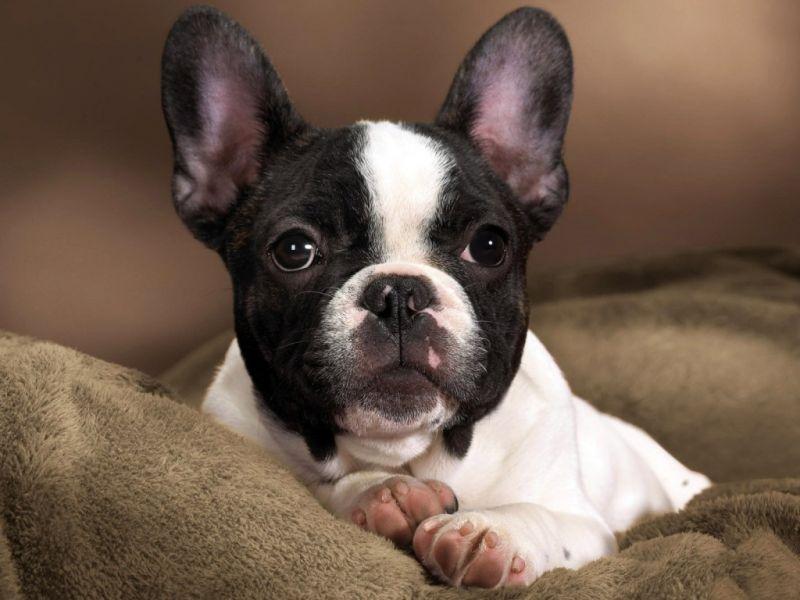 Французские бульдоги: добрые и игривые собаки