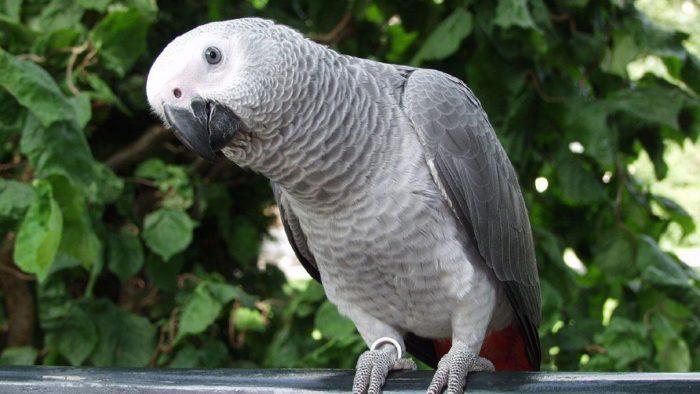 Продолжительность жизни попугая жако