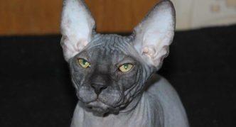 Серый донской сфинкс
