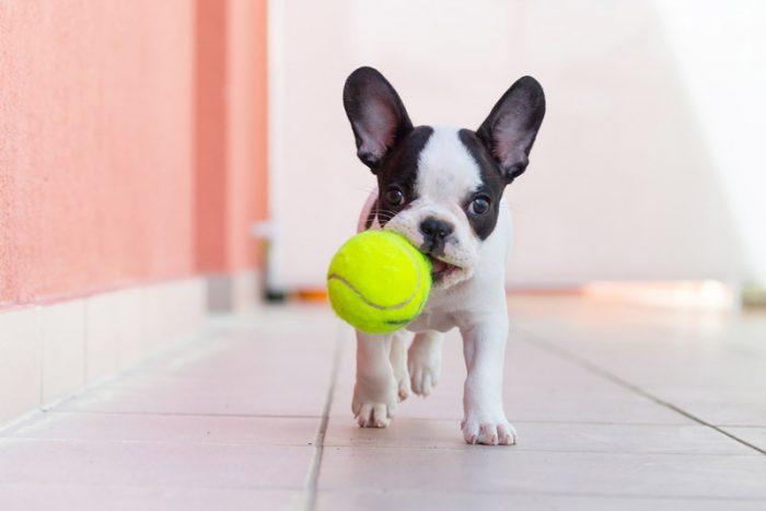 Щенок французского бульдога с мячиком