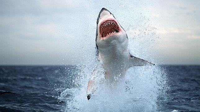 Выпрыгивающая из воды белая акула