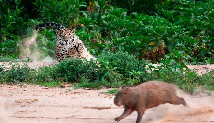 Ягуар охотится на капибару