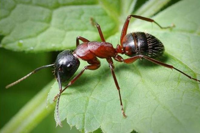 Бродячий муравей