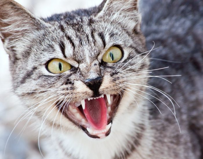Кошка атакует