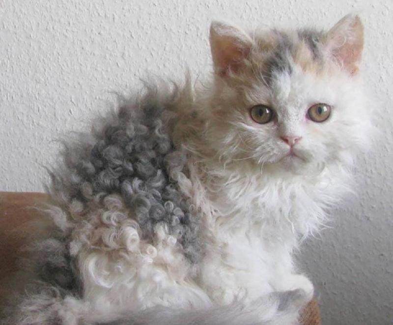 Кудрявые кошки — названия пород и фото